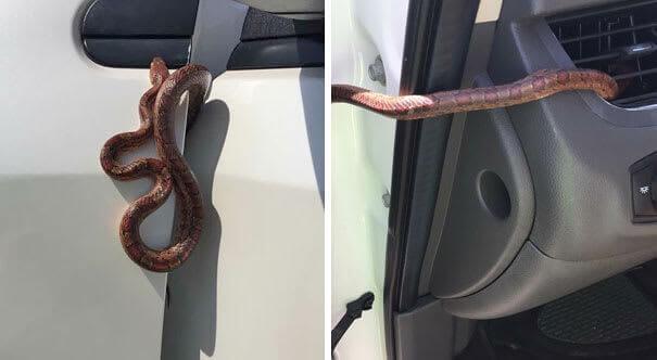 Cobra em um Carro