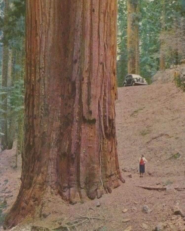 A Massive Redwood Tree