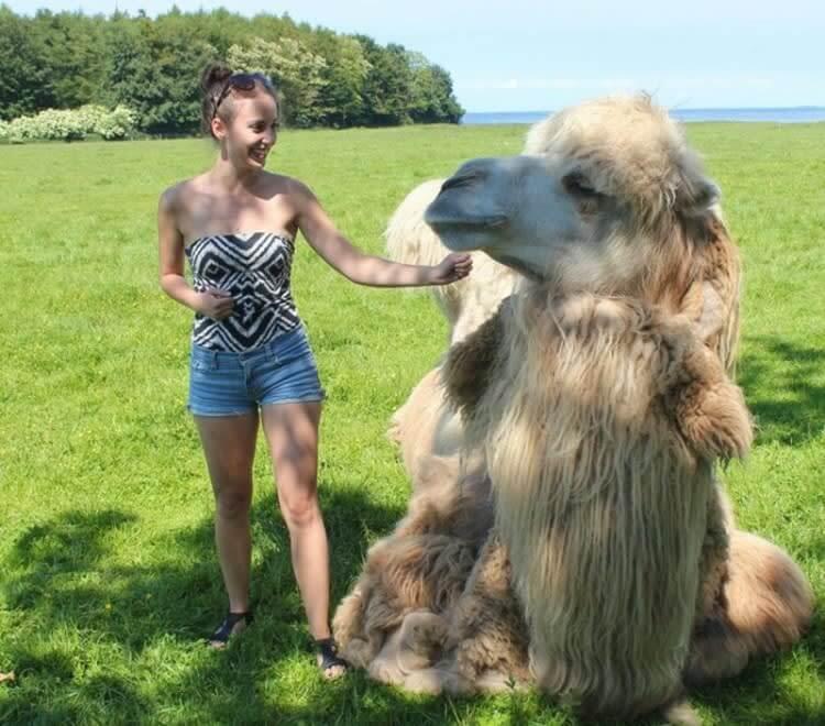Camel Vs. A Person