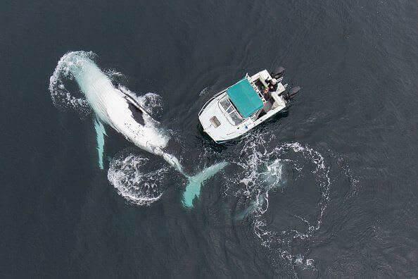 قفزة جمل البحر- الحوت الأحدب