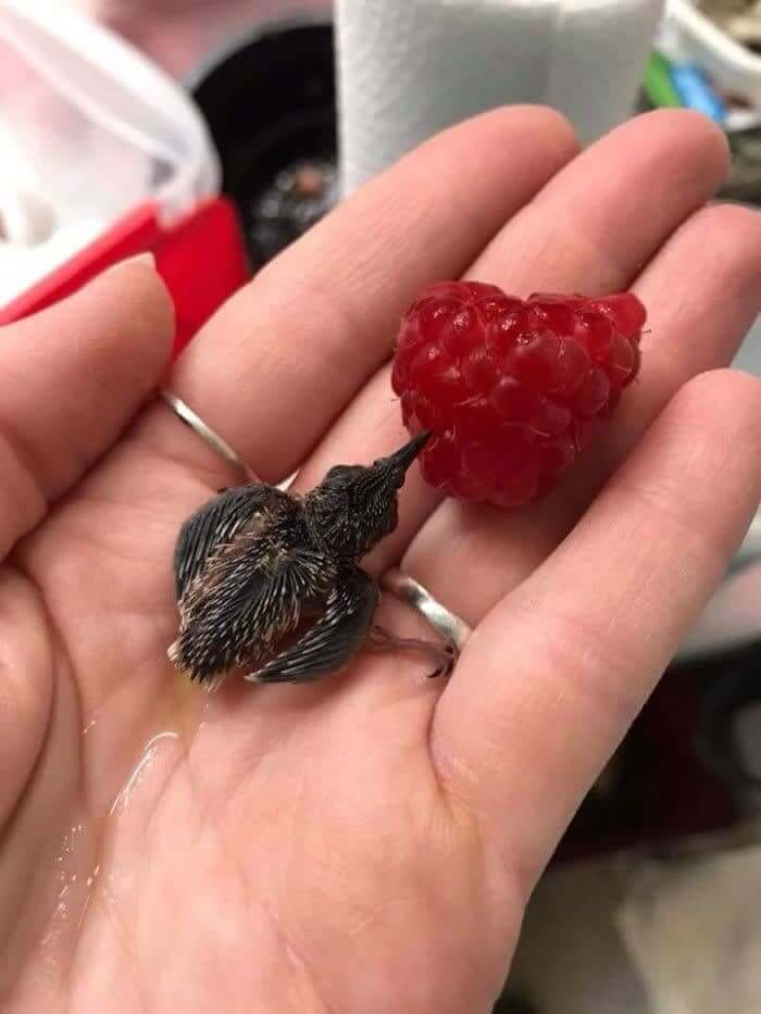 Baby Hummingbird and A Raspberry