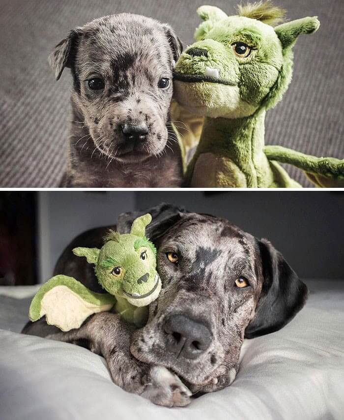 Still a Kid At Heart: 4 Weeks vs. Full Grown, Holding His Favorite Toy