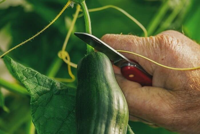 Cucumbers Should Be Kept At Room Temperature