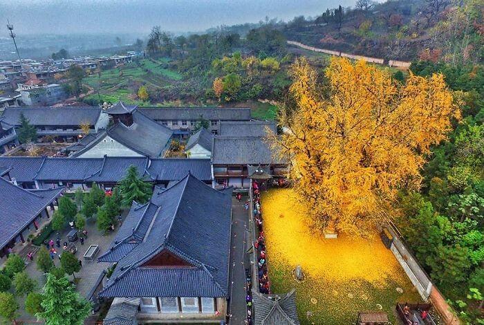 A Árvore De 1400 Anos Que Espalha Suas Folhas Douradas No Chão Do Templo Budista
