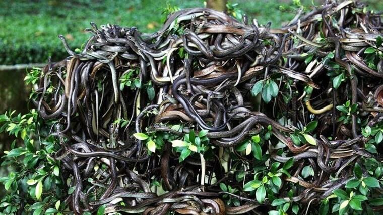 Isla de las Cobras, Brasil