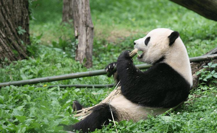Giant Panda As A Loan