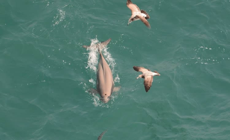 Chinese White Dolphins Are Often Pink