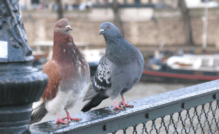 Trained Pigeons for the Army
