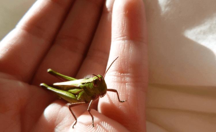 Keeping Crickets As Pets