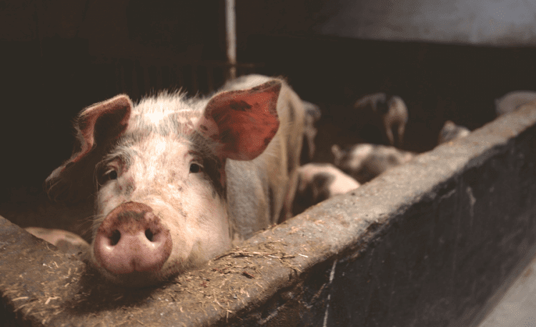 Half of the World's Pig Are In China