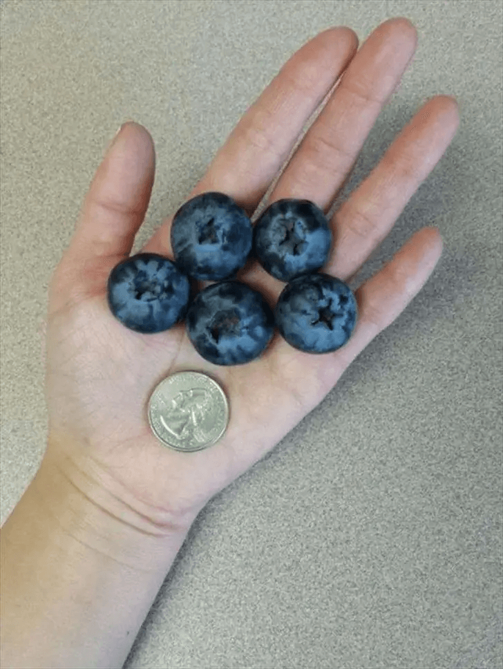 The Biggest Blueberries